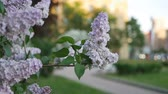hue : Lilac in a spring park - a branch of lilac in the rays of the setting sun. Spring mood.
