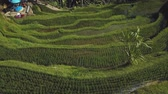 green rice terrace in bali indonesia
