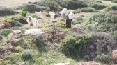 lacteos : Mountain goats and sheep graze in a green meadow by the sea. Cyprus, spring Archivo de Video