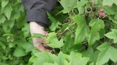 toplamak : Female hand picks black currant berries from the bush. Hand tearing currants Stok Video