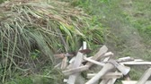 doğrama : Chopped firewood and an ax lie on the grass. Camera from the bushes of grass. Slow motion