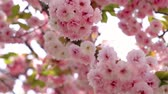 küme : the closeup of gorgeous cherry flower cluster blossoming in japanese osaka castle with a background of blurr flowers
