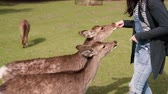krok : hungry deer walking close to the female traveler to get the food in her hands and the lady step back