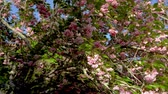 quioto : wind blowing sakura on the tree in a sunny day when spring comes Stock Footage