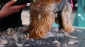 спа : Pet Grooming Salon. Groomer Cutting Dog Hair With Trimmer, Dogs Fur Falling On Table