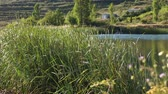 clorofila : The tall Typha Latifolia grass blowing by the wind in front of a mountain lake, a swallow flies and touches the water