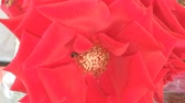 detail : Insect On The Red Rose, stock video