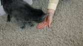 houseless : Female hand closeup petting stray cat that sits on the home carpet