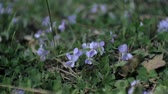 fronteira : Nemophila. Spring blue flowers in the forest