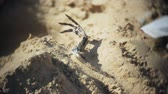 kazmak : The woman is engaged in excavating bones in the sand, Skeleton and archaeological tools. Stok Video