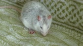 sıçan : gray rat eating on the couch food, pets