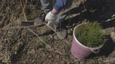 ültetés : Planting tree saplings. Forest restoration, protection of ecology.