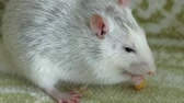 ratto : gray rat eating on the couch food, pets