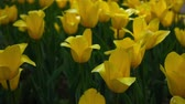драматический : Yellow tulips. Flowers spring nature.