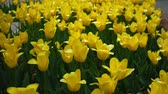 dramatic : Yellow tulips. Flowers spring nature.