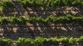 gruszka : Flying over the green plantations of fruit trees. Aerial shot