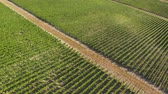 Flying over the green plantations of fruit trees. Aerial shot