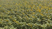 sunflower field : Field with sunflowers. Aerial shot
