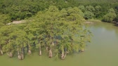selvi : Mountain lake with swamp cypresses. Aerial shot Stok Video