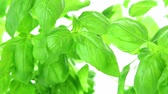 iyilik : Fresh basil leaves on white background Stok Video