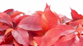 border : Red autumn leaves on white background, autumn concept with copy space, shot in RAW Stock Footage