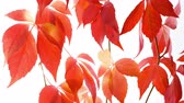 border : Autumn concept, red leaves on white background Stock Footage
