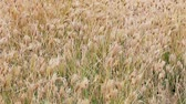 veld : 1920x1080 hidef, hdv - Dry prairie grass with seeds swaying in the wind