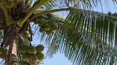Video 1920x1080 - Harvest mature coconuts at the top of palm tree