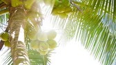Video 1920x1080p - Coconuts on the top of the palm tree with the rays of the tropical sun Wideo