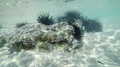 ouriço : Video 1920x1080 - Dangerous sea urchins under the water near the beach