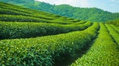 herb : Video 1920x1080 - Growing tea close up. Highlands of Thailand