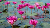 waterplant : Video 1920x1080 - Purple water lilies in garden ponds