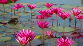 waterplant : Video 1920x1080 - Water lilies in a pond. Shoot with panning. Thailand