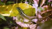 eye : Video 1080p - Forest lizard on fallen leaves close up. Thailand. Phuket