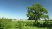 repousante : Video UltraHD - Lone oak tree with leaves fluttering in a refreshing summer breeze in a natural. grassy meadow under a blue sky. Vídeos