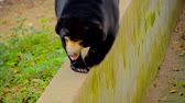 pacing : FullHD footage - Solitary Asian black bear pacing along the narrow ledge atop a wall in his habitat enclosure at Chiang Mai Zoo in Thailand.