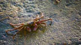 живая природа : Video 1080p  Grapsus tenuicrustatus. Crab feeds on the surface of the rock