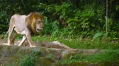 pacing : Video 4k  Solitary. male lion paces slowly over the rocks in his habitat enclosure at a zoo. with natural greenery in the background. Stock Footage