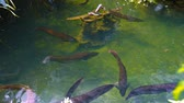 food : Group of red-brown arowanas. swimming around in lazy circles. looking for food in a pond at a popular zoo.