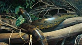 eunectes : Lone anaconda. slithers along a driftwood branch in his habitat enclosure at a popular public zoo.