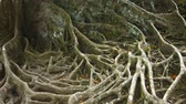 emaranhado : Thick. branching mass of roots. interwoven on the surface of the ground like a spooky. gnarled mat covering the forest floor