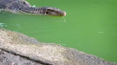 мутный : Water monitor lizard. with his long. black. forked tongue. swimming past in the green water of a pond in Southeast Asia. Video UltraHD
