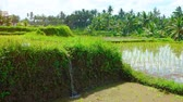 growing : Muddy irrigation water tumbles over an embankment into a rice paddy on a tropical plantation in Southeast Asia. with sound. Stock Footage