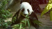 giant panda : Adult panda holding bamboo shoots in his paws while eating the leaves in its habitat enclosure at a public zoo. UltraHD video