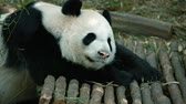 giant panda : Panda resting after lunch. Video FullHD with zoom effect