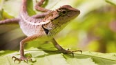 imóvel : Closeup of a wild calotes lizard. resting immobile and sunning himself on a leaf. Video 3840x2160