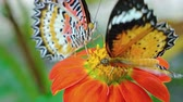 borboleta : Two Leopard Lacewing butterflies. flapping their bright orange wings as they feed on the nectar of a colorful flower. Video 3840x2160