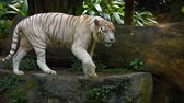 pacing : Mature white bengal tiger pacing nervously on a big rock in his habitat enclosure at a popularmpublic zoo.