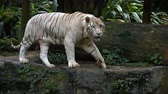 pacing : Solitary. male. white Bengal tiger. pacing nervously on a rock in his habitat enclosure at a popular zoo. with sound.