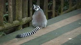 catta : Mature. ring-tailed lemur. with its typical long. striped tail. sitting on a wooden deck at a popular public zoo. Stock Footage